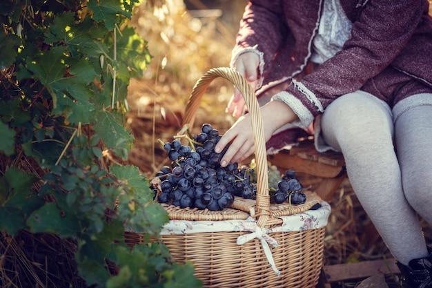 Ragazze a settembre per la vendemmia dei vigneti, raccolgono i grappoli selezionati in italia per la grande vendemmia. id concetto biologico, cibo biologico e buon vino fatto a mano