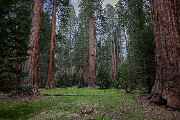 Radura nella foresta, grandi alberi con grandi sonde