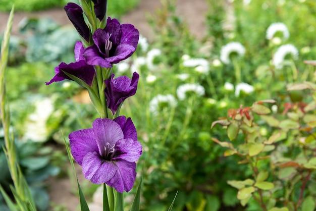Gladioli che crescono in giardino.