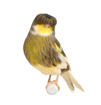 Gloster corona canary - serinus canaria sul suo trespolo isolato