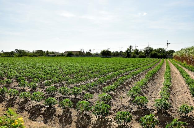 Raggiante della piantagione di manioca e lo sfondo del cielo blu