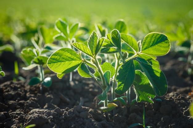 Glycine max, soia, germogli di soia che crescono semi di soia su scala industriale.