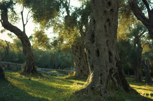 Uno stelo nodoso di un ulivo, in piedi in un boschetto, illuminato dal sole prima dell'alba.