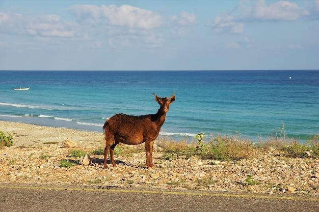 La capra sulla costa dell'oceano indiano, isola di socotra, yemen