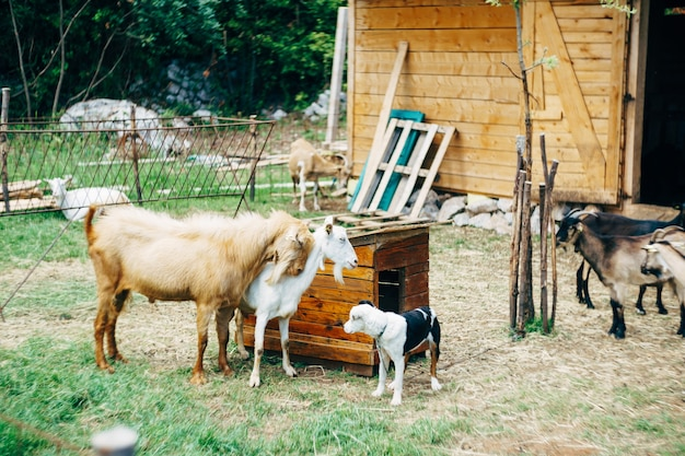 Capra e capra vicino a una cuccia e un cane in un allevamento di capre