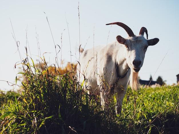 Una capra pascola in un prato del villaggio in autunno.