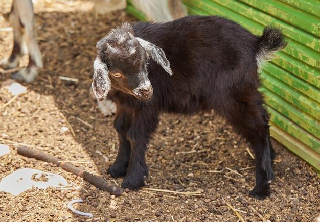Capra è appena nata nel parco nel paddock.