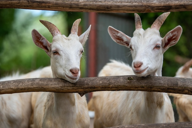 Testa di capra nella gabbia in una fattoria