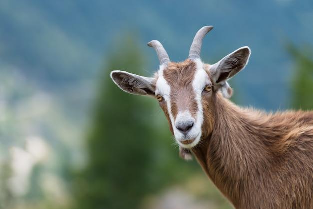 Una capra ci guarda