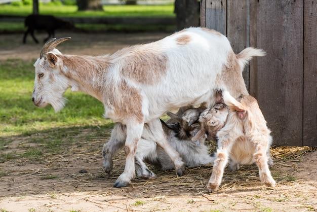 Una madre di capra che alimenta il suo bambino al pascolo. due piccole capre bevono latte