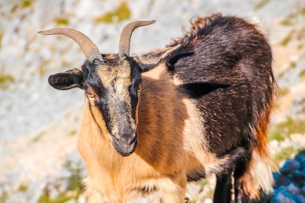 Una capra con piccole corna sulle vette dell'europa. asturie