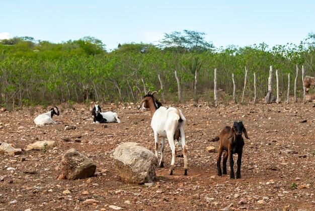 Capre nella regione di cariri, cabaceiras, paraiba, brasile il 27 febbraio 2011.