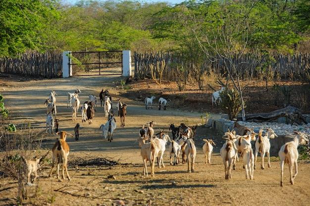 Capre nella regione di cariri, cabaceiras, paraiba, brasile il 1 novembre 2012.