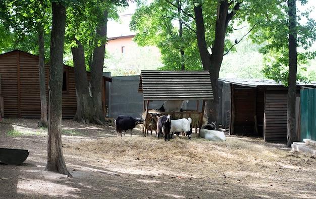 Le capre mangiano il fieno dalla mangiatoia. animali ungulati