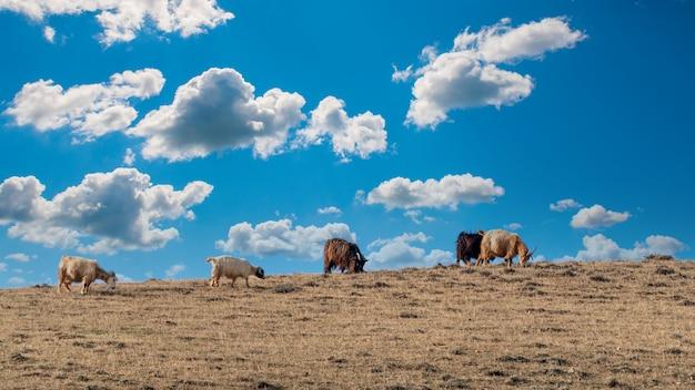 Le capre pascolano in cima alla collina