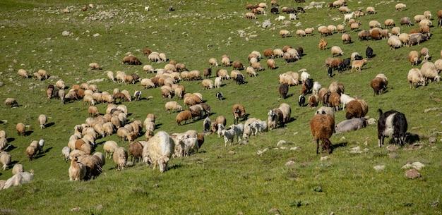 Capre e pecore sullo sfondo del campo