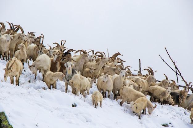 Capre nella neve, fattoria in montagna in georgia