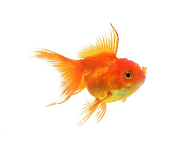 Pesce d'oro isolato su uno sfondo bianco.