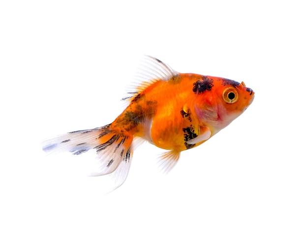 Pesce d'oro isolato su uno sfondo bianco
