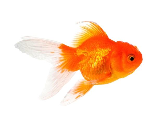 Pesce d'oro isolato su sfondo bianco