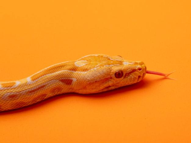 Pitone dorato, pitone reticolato (python reticulatus).