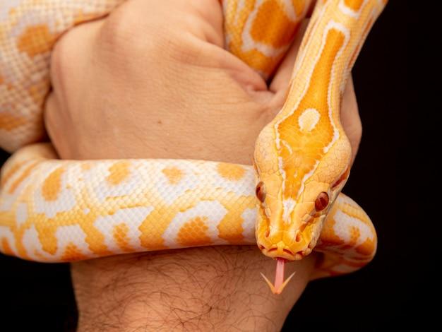 Pitone d'oro, pitone reticolato (python reticulatus).