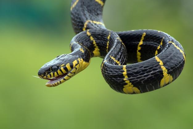 Il serpente gatto dagli anelli d'oro in posizione di attacco