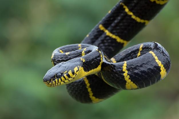Serpente gatto dagli anelli d'oro in posizione difensiva
