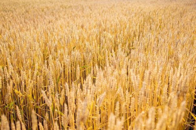 Campo di grano d'oro. bellissimo paesaggio al tramonto della natura. fondo delle orecchie di maturazione del giacimento di grano del prato. concetto di grande raccolto e industria delle sementi produttive
