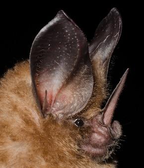 Il pipistrello dorato (mimon bennettii) è una specie di pipistrello del sud america. si trova in brasile, colombia, guyana francese, guyana, suriname e venezuela.