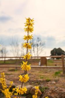 Fiore campana d'oro con sfondo sfocato