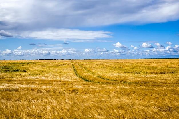 Coltivazione di cereali d'oro