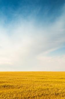 Prato dorato raccolto colorato sotto un cielo vivido blu