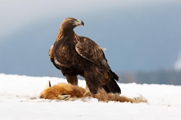 Aquila reale, aquila chrysaetos, in piedi sulla neve accanto alla preda in inverno