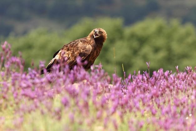 Golden eagle femmina tra fiori viola con le prime luci del mattino
