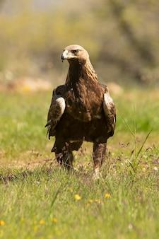 Aquila reale femmina in un bosco di querce con le prime luci del mattino in un giorno di primavera