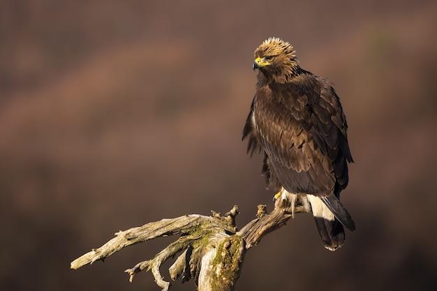 Aquila reale seduto su una cima degli alberi in una soleggiata giornata invernale con copia spazio