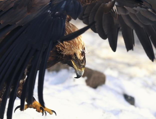 Aquila reale nella neve