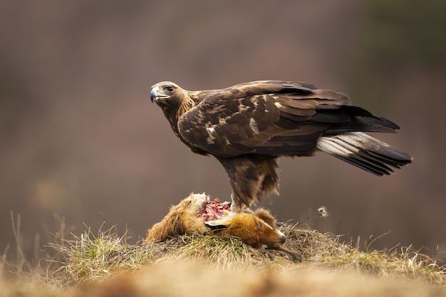 Aquila reale in piedi sulla preda morta nella natura autunnale
