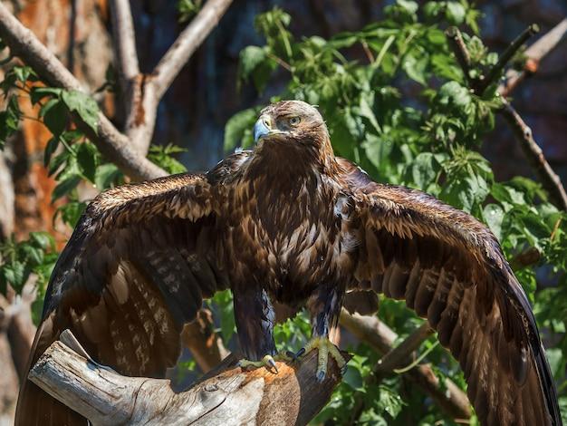 Aquila reale allo zoo
