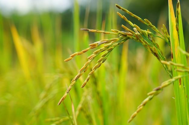 Una spiga dorata di riso con foglie di riso biologico