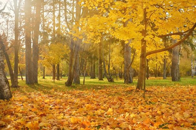 Parco autunnale dorato della città in una luminosa giornata di sole. albero di acero con fogliame giallo nel parco autunnale. tappeto di foglie autunnali arancioni cadute nel parco. concetto di autunno dorato.