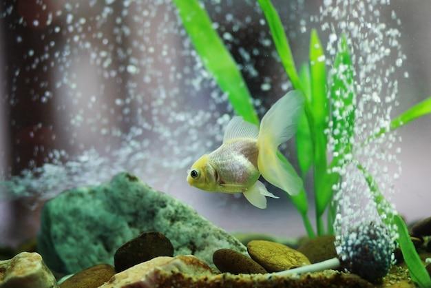 Pesce d'oro in acquario o acquario per decorazione domestica