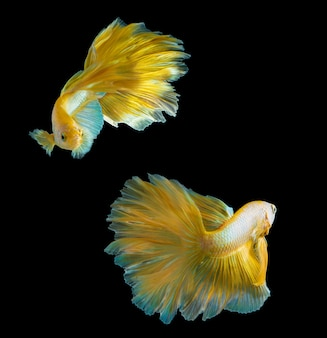 Pesce betta mezzaluna dorato sul nero, pesce combattente thailandia in colore oro su sfondo nero isolato