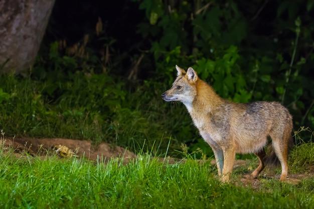 Golden jackal o volpe alla nigth