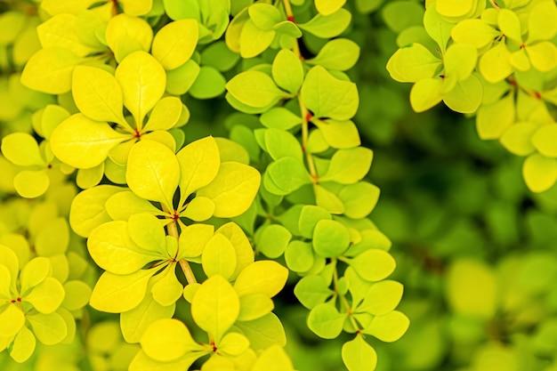 Foglie verdi gialle gialle del crespino giapponese dorato, fondo del fogliame di berberis thunbergii aurea