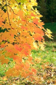Fogliame dorato dell'albero di acero nel parco cittadino di autunno