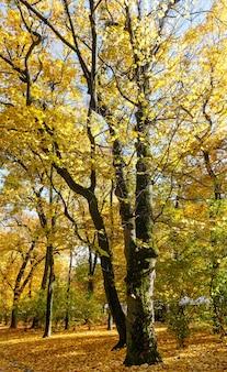Foglie di acero dorato illuminate dal sole nel parco cittadino autunnale.
