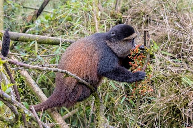 Scimmia dorata che si siede su un ramo