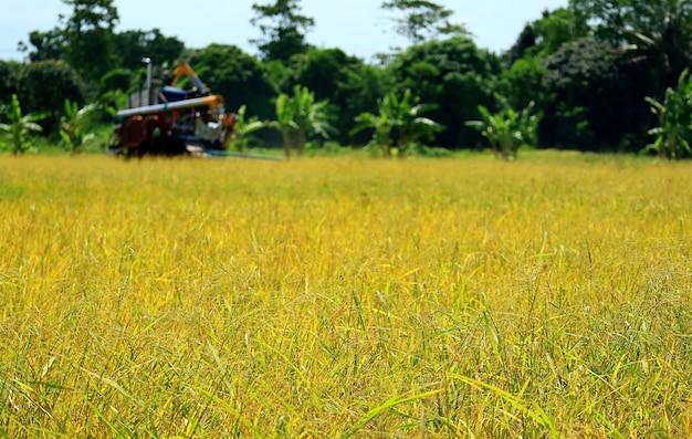 La risaia dorata durante la stagione del raccolto con la macchina mietitrebbia sfocata in funzione